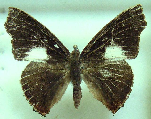 Image of <i>Euliphyra mirifica</i> Holland 1890