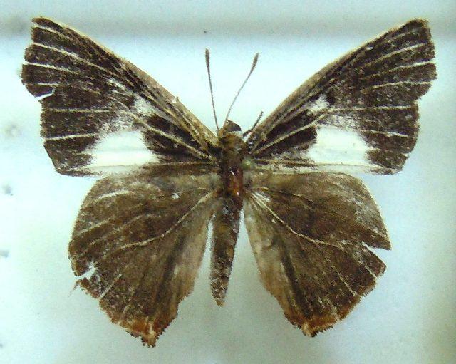 Image of <i>Euliphyra hewitsoni</i>