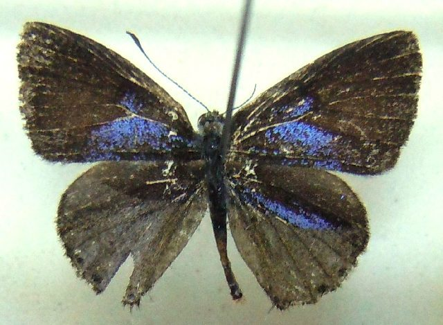 Image of Cupidesthes