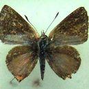 Image of <i>Chloroselas pseudozeritis</i>