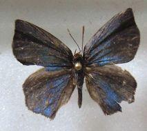 Image of <i>Aslauga marginata</i>