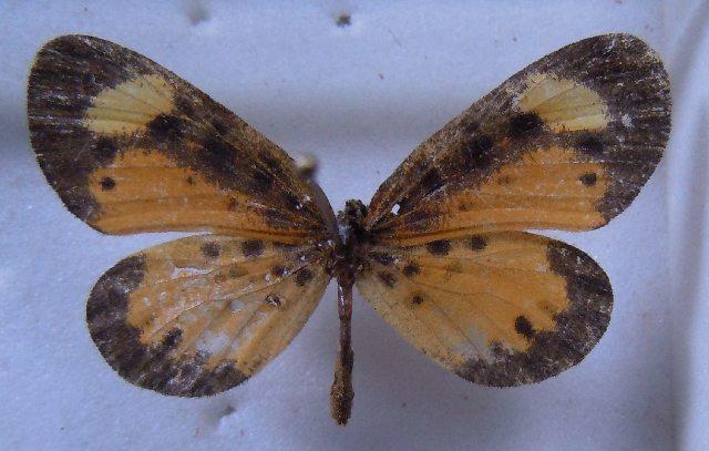 Image of Pentila