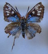 Image of <i>Aphnaeus zanzibarensis</i>