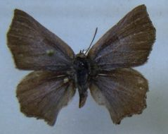 Image of <i>Aslauga latifurca</i>