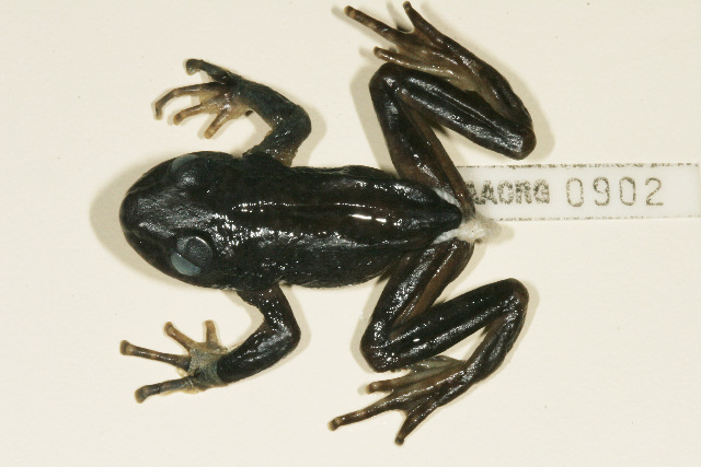 Image of ghost frogs