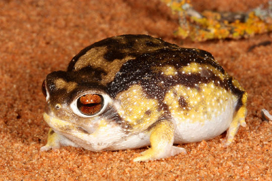 Image of short-headed frogs