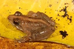 Image of Phrynobatrachidae Laurent 1941
