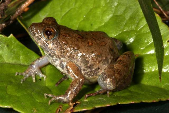 Image of puddle frogs