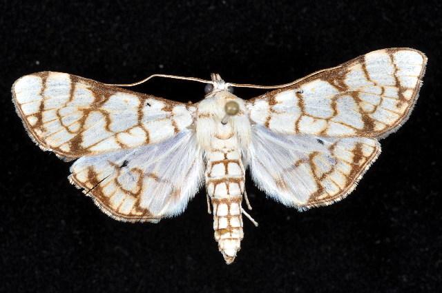 Image of Aphytoceros