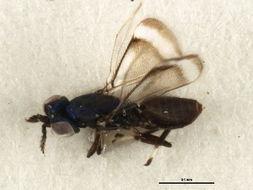 Image of <i>Closterocerus coffeellae</i> Ihering 1914