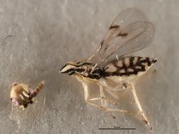 Image of <i>Zagrammosoma latilineatum</i> Ubaidillah 2000