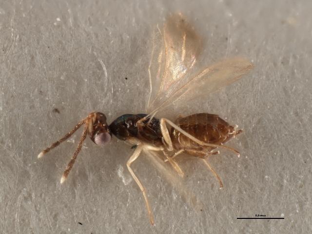 Image of <i>Hemiptarsenus varicornis</i> (Girault 1913)