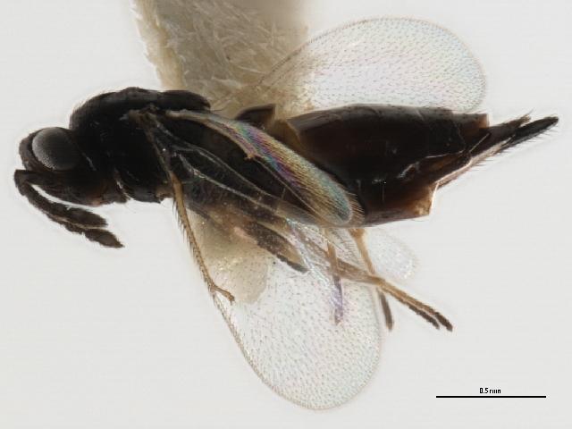 Image of <i>Aprostocetus granulatus</i>