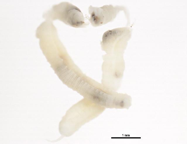 Image of Lumbriculidae