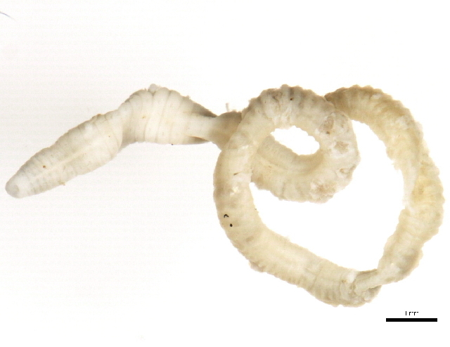 Image of Lumbriculus
