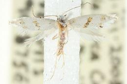 Image of Notodryas aeria