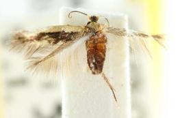 Image of <i>Pectinivalva caenodora</i> (Meyrick 1906) Nielsen 1996