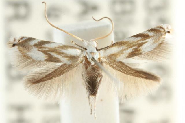 Image of <i>Opostega nubifera</i> Turner 1900