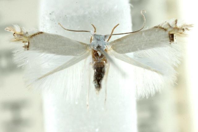 Image of <i>Lyonetiid</i>