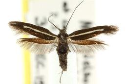 Image of <i>Scythris pleonectis</i> Meyrick 1897