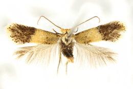 Image of <i>Pectinivalva</i>