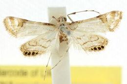 Image of <i>Eoophyla argyrilinale</i>