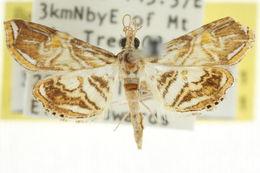 Image of <i>Ambia ptolycusalis</i> Walker 1859