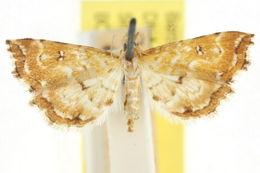 Image of <i>Musotima leucomma</i>