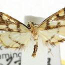 Image of <i>Aboetheta pteridonoma</i> Turner 1914