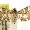 Image of <i>Tabidia insanalis</i> Snellen 1880
