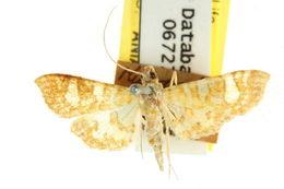 Image of <i>Glyphodes callipona</i>