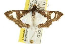 Image of <i>Glyphodes bicolor</i> Swainson (1821)