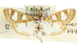 Image of <i>Glyphodes apiospila</i> Turner 1922