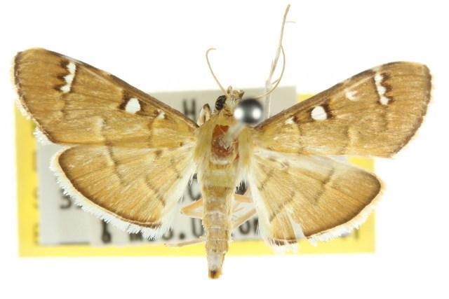 Image of <i>Cotachena</i>