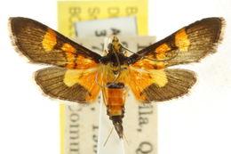 Image of <i>Aethaloessa calidalis</i> Guenée 1854
