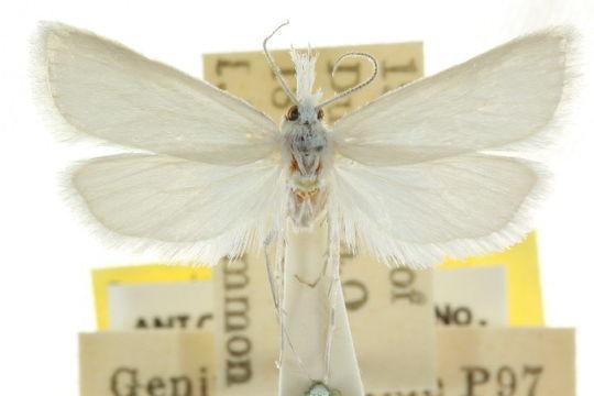 Image of <i>Niphadoses palleucus</i> Common 1960