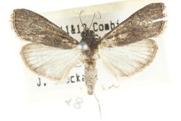 Image of <i>Catamola funerea</i> Walker 1863