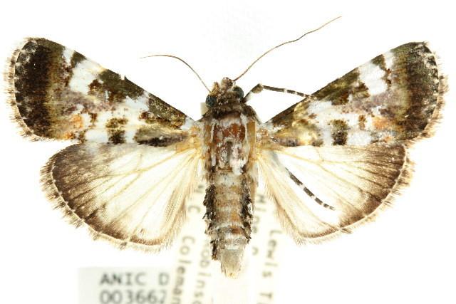 Image of <i>Termioptycha eucarta</i> Felder & Rogenhofer 1875