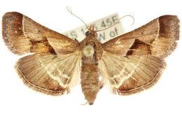 Image of <i>Gauna aegusalis</i> Walker 1859