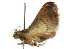 Image of <i>Gauna phaealis</i> Hampson 1906