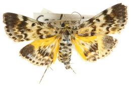 Image of <i>Cardamyla didymalis</i> Walker 1859