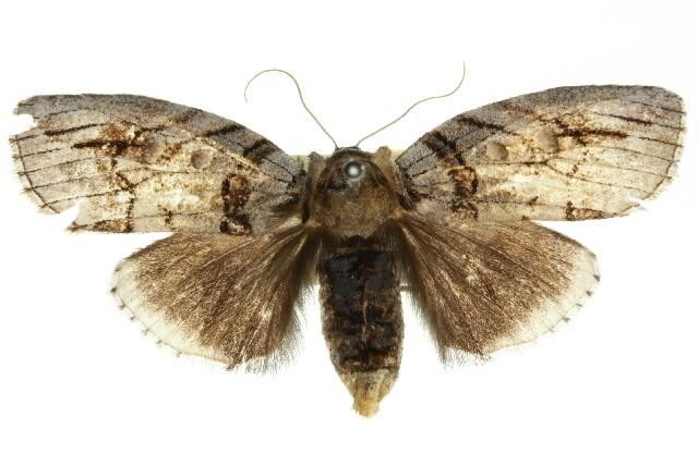 Image of <i>Discophlebia blosyrodes</i> Turner 1903