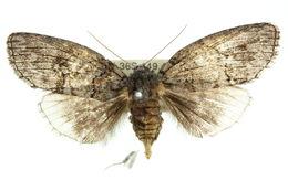 Image of <i>Discophlebia catocalina</i> Felder 1874