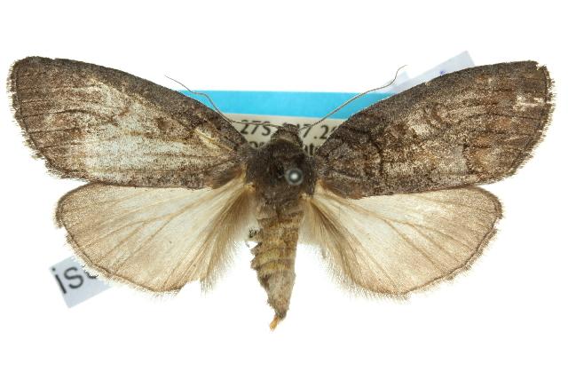 Image of <i>Discophlebia celaena</i>