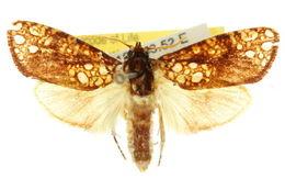Image of <i>Dudgeonea actinias</i>