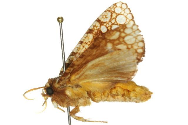 Image of <i>Dudgeonea polyastra</i> Turner 1933