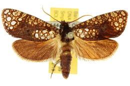 Image of <i>Dudgeonea</i>