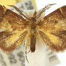 Image of <i>Elassoptila microxutha</i> Turner 1902