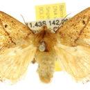 Image of <i>Hydroclada antigona</i> Meyrick 1889