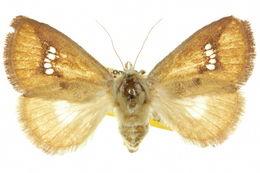 Image of <i>Hedraea quadridens</i> Lucas 1901